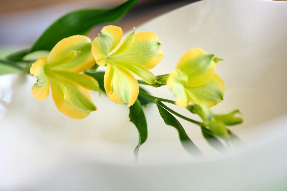 Charmelia Yellow_9